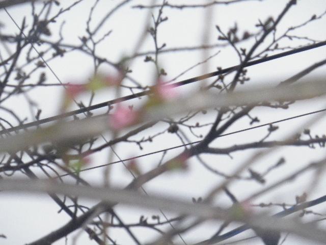 04) 蕾先端の花びらが顔を出そうとしている桃色を撮ったつもり。
