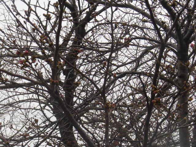 09) 蕾先端の花びらが顔を出そうとしている桃色を撮ったつもり。