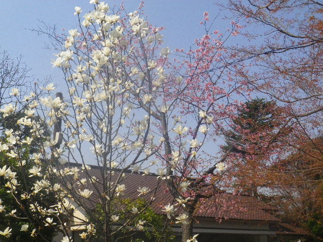 07) 桜は写真の右側