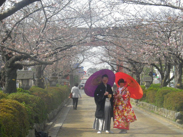 01) 鎌倉「鶴岡八幡宮」参道、' 段葛 '。 _ 8:47am頃~