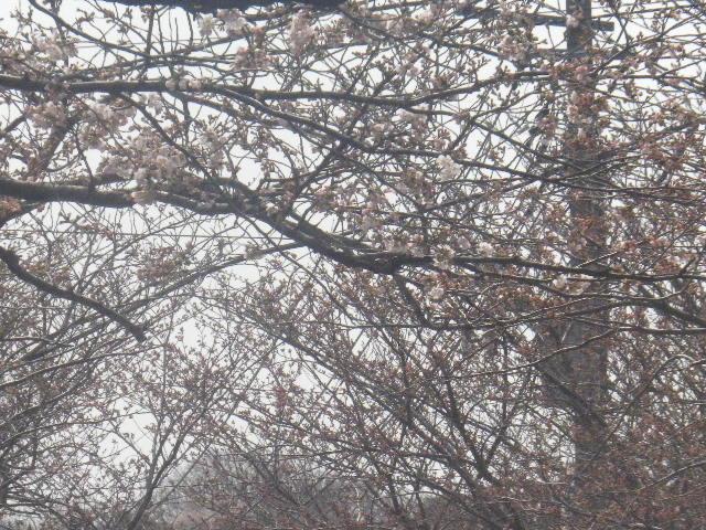 02) 桜の ' 一分咲き ' を撮ったつもり
