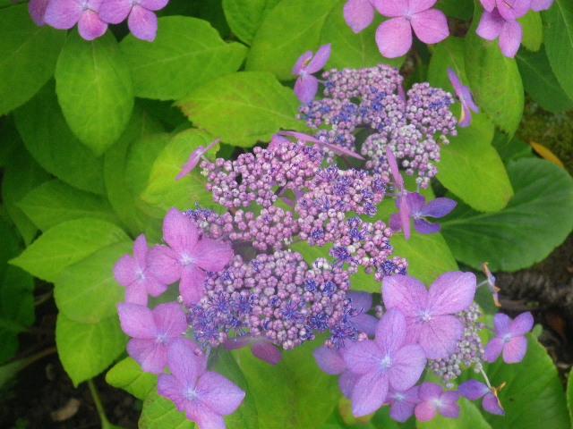 03-2) 「クロヒメ」 _ 紫陽花