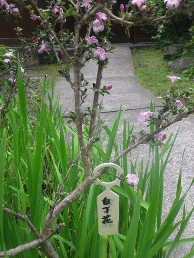 06-1) 「白丁花」