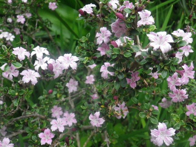 06-2) 「白丁花」