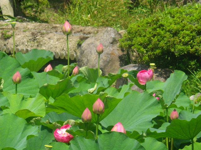 05) 14.07.15鎌倉「光明寺」 蓮の花