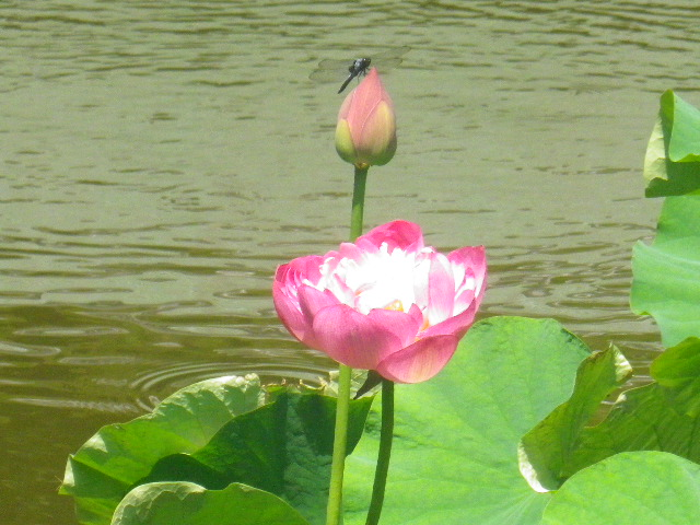 07) 14.07.15鎌倉「光明寺」 蓮の花