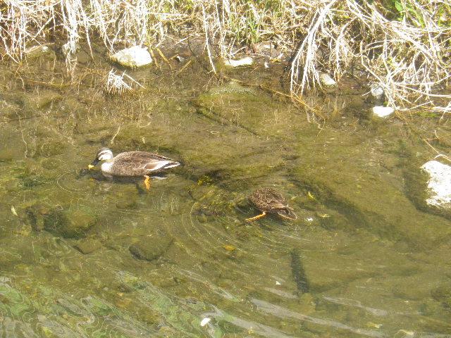 03-3) 更に別の鴨。見える範囲で、6羽を確認。