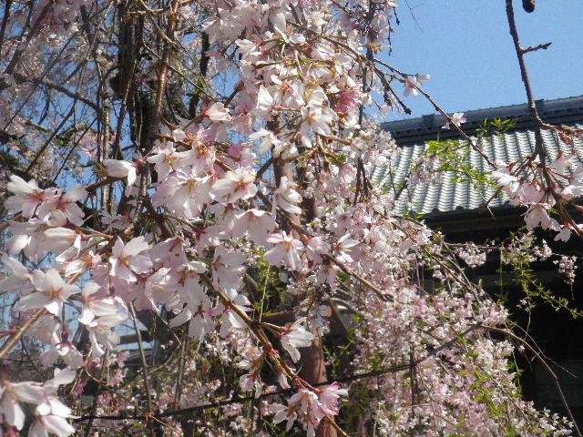 03) 散り際の枝垂れ桜