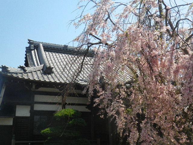 04) 散り際の枝垂れ桜