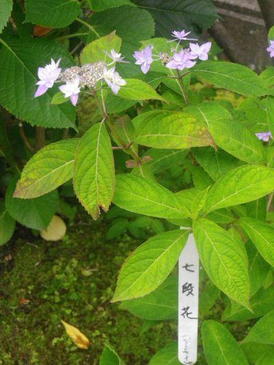 01-1) 「七段花」 _ 紫陽花