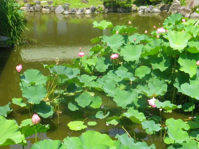 06) 14.07.15鎌倉「光明寺」 蓮の花