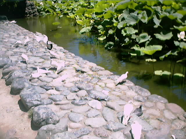 45)しゃがみこんでいる白鳩(1)