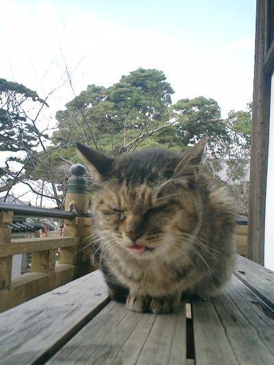 02)鎌倉市材木座「光明寺」本堂石庭前。ジィ~っと固まったままの'トラシマ1号'。推定17歳?っと聞いているが、なんとか今冬を乗り切ってくれ。