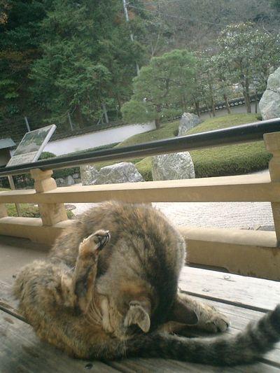 03)鎌倉市材木座「光明寺」本堂石庭前。そのうちに'トラシマ1号'が毛繕いを始めたので、衰弱して身動き出来ないわけではないらしいので安心した。