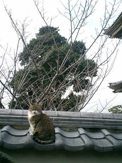 19)鎌倉市材木座「光明寺」近くで水を飲んでいた'バーナード・パーディ'だが、カメラを向けて近づいたら塀の上へ行ってしまった。今日は、ご機嫌ワロシ。孤高の猫だ。