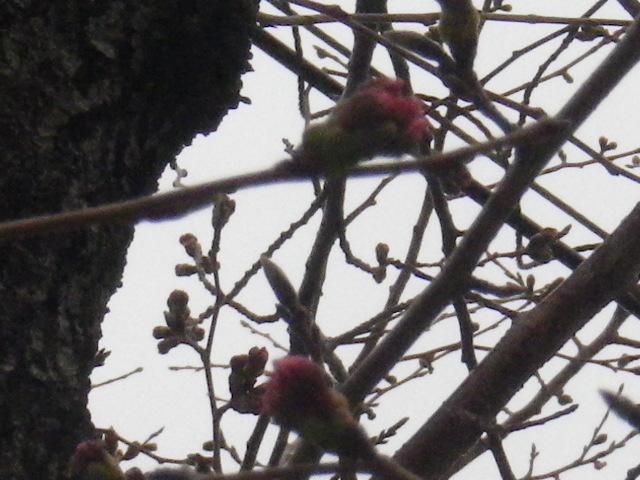 07) 蕾先端の花びらが顔を出そうとしている桃色を撮ったつもり。