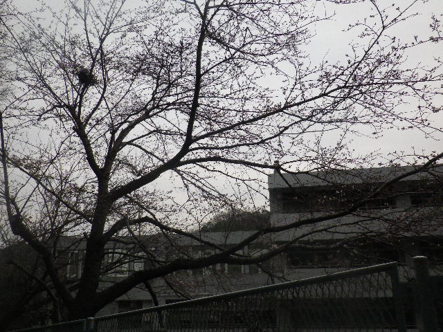 01) 鎌倉市立再位置中学校( ≒ 光明寺裏の高台 )の桜