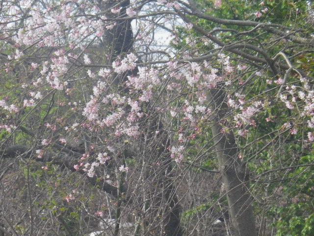 04-2) 桜