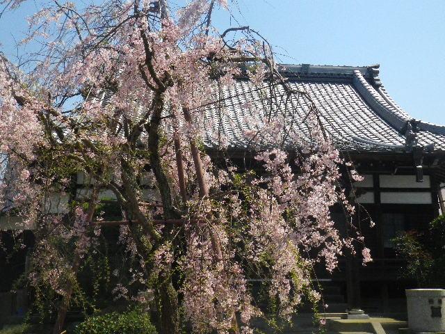 02) 散り際の枝垂れ桜