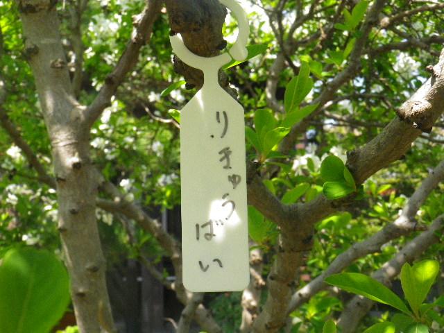 01-2) 「りきゅうばい(利休梅)」