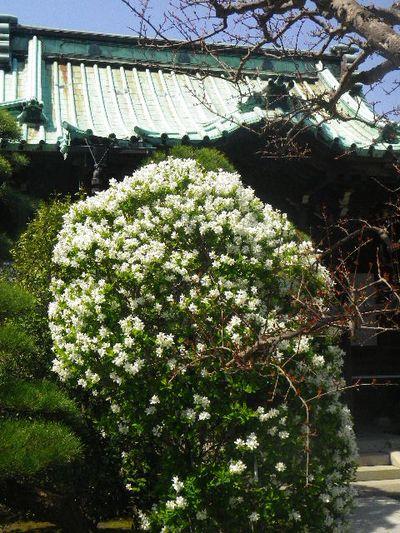 01-3) 「りきゅうばい(利休梅)」
