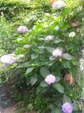 01) 14.06.03自宅の紫陽花が咲き始めた