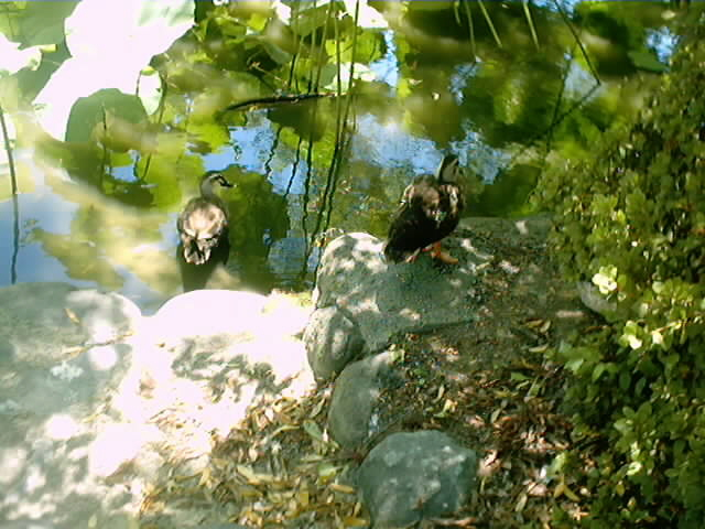 43)源氏池の水鳥(1)
