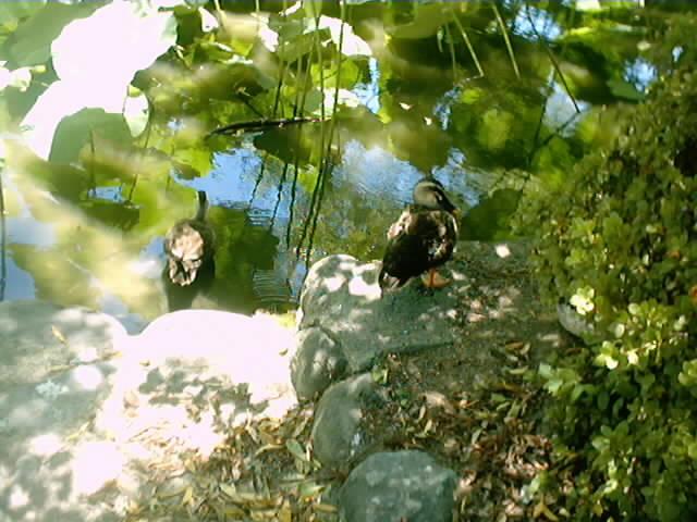 44)源氏池の水鳥(2)