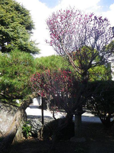 03-1) 15.02.13 鎌倉「本覚寺」 梅の頃 _ 鎌倉市小町