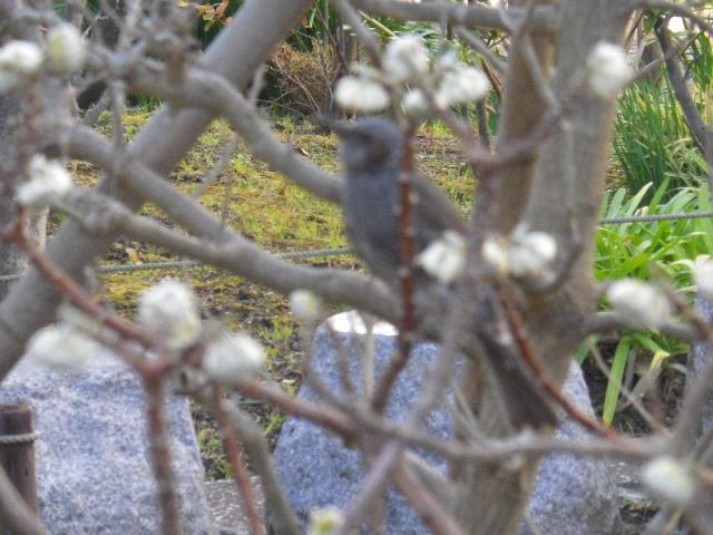 11-2) ミツマタの花を啄む(ついばむ)野鳥。