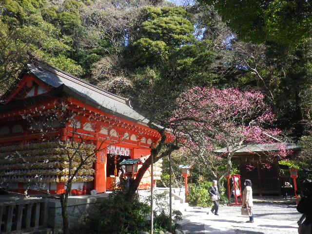 02-1-01) 社殿に向かって左の白梅。 _ 15.02.16 鎌倉「荏柄天神社」梅の頃