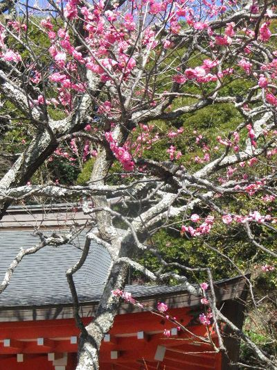 02-2-02) 社殿に向かって右、桃色の梅。 _  15.02.16 鎌倉「荏柄天神社」梅の頃