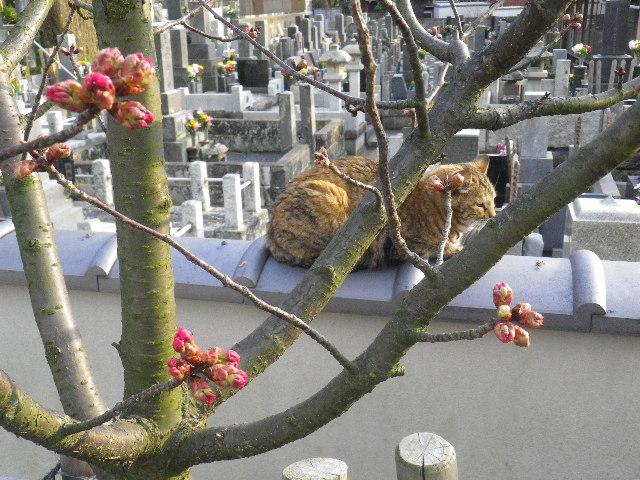 06-4) 桜の蕾は、こんなカンジ。