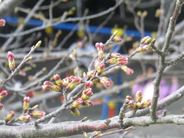 07) 逆光を遮ることができた展望台から最寄りの桜で、今回では いくらかマシに写った一枚。