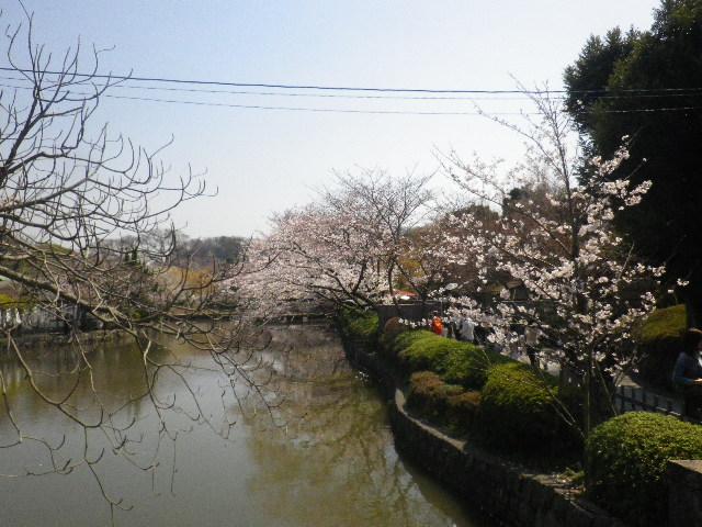 01-1)  15.03.30 鎌倉「鶴岡八幡宮」の桜