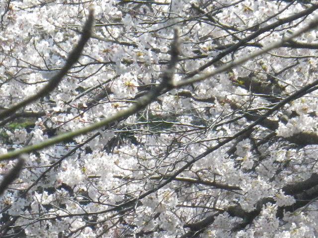 01-3)  15.03.30 鎌倉「鶴岡八幡宮」の桜