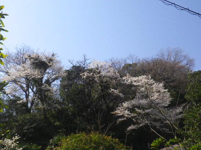 00)  15.03.30 ' 住吉城址 ' 周辺の山桜 _ 逗子市(/鎌倉市)