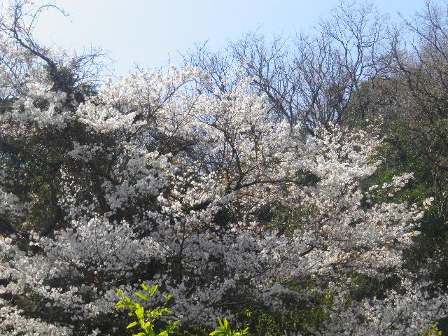 00-2)  15.03.30 ' 住吉城址 ' 周辺の山桜 _ 逗子市(/鎌倉市)