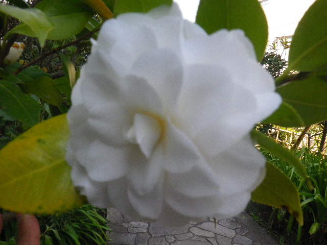 10-2) 白菊