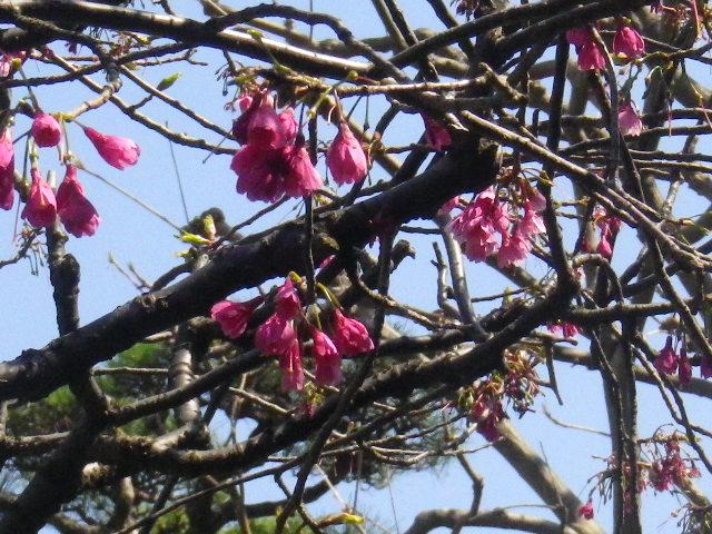 17-4) 緋寒桜
