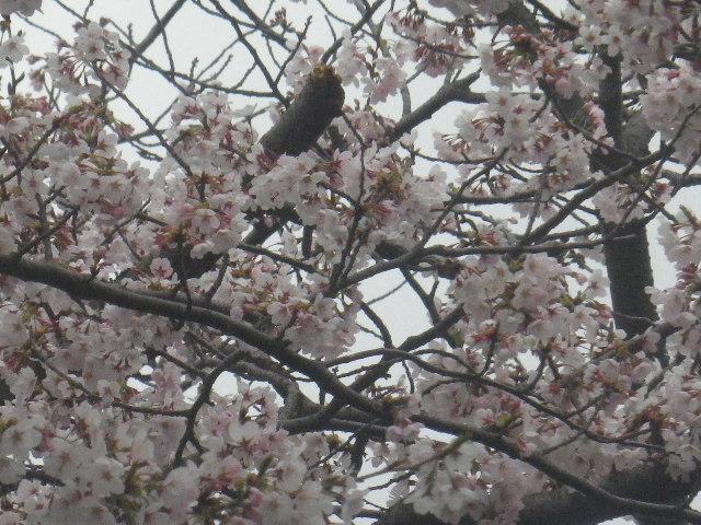 01-3) 15.04.01 逗子ハイランドの桜