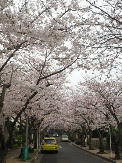 03-1) 15.04.01 逗子ハイランドの桜