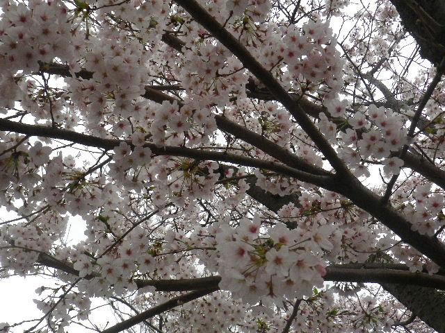 03-2) 15.04.01 逗子ハイランドの桜