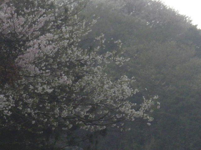 02-2) 15.04.01 逗子「披露山庭園住宅」邸宅の桜