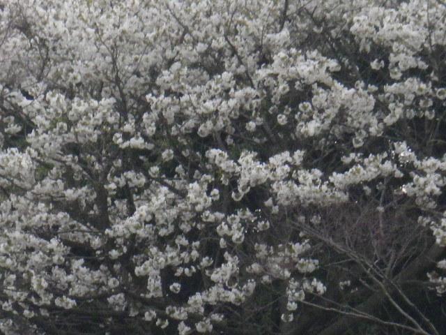 01-3) 15.04.01 「逗子市立 披露山公園」の桜