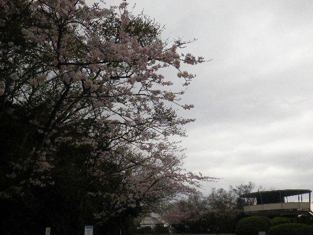 03-1) 15.04.01 「逗子市立 披露山公園」の桜