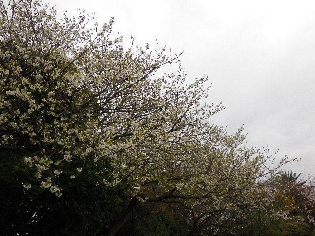 04-1) 15.04.01 「逗子市立 披露山公園」の桜
