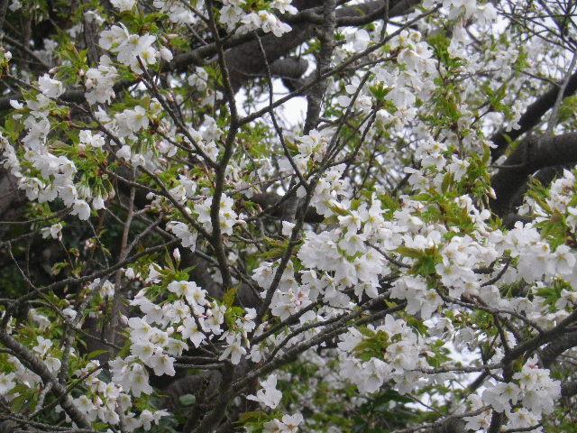 04-2) 15.04.01 「逗子市立 披露山公園」の桜