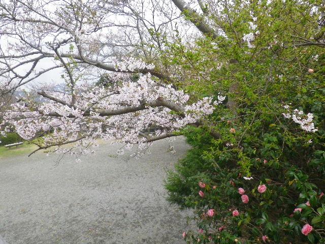 07-1) 15.04.01 「逗子市立 披露山公園」の桜