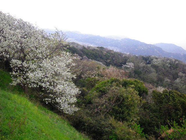 14) 15.04.01 「逗子市立 披露山公園」の桜